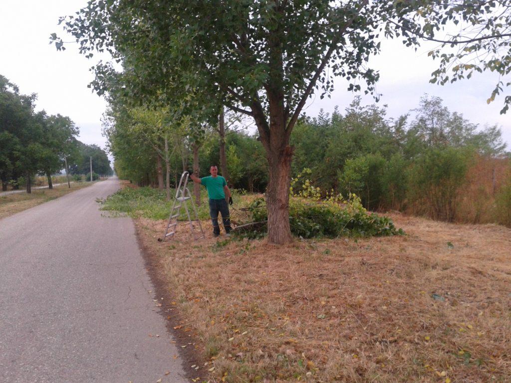 Orezivanje drvoreda ka Neri