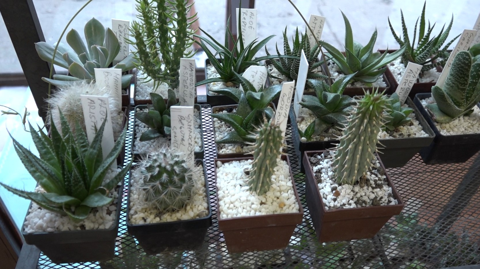 izlozba kaktusa i slika od cveca Bela Crkva